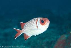 BD-111123-Raja-Ampat-4993-Myripristis-botche.-Cuvier.-1829-[Blacktip-soldierfish].jpg